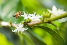 Bee on Coffee Flower