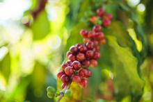 coffee cherry on stem