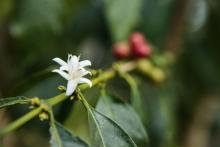 coffee flower on stem